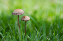 Mushroom couple Stock Photo