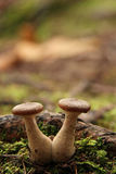Mushroom Couple Royalty Free Stock Image
