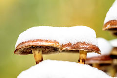 Mushroom Couple. Rare phenomenon macro picture of two mushrooms in the snow in November with blurred green background Stock Photography