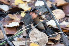Mushroom covered with leaves. grows. Among grass and fallen leaves. photo for your design. horizontal sheet orientation Royalty Free Stock Photos