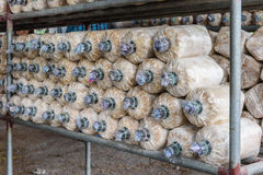 Mushroom cultivation in soil and sawdust Stock Image