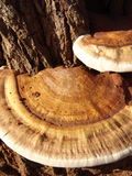 Mushroom detail. Tree mushroom Stock Photography