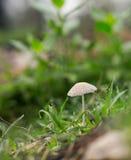 Mushroom emerges after spring rain Stock Image