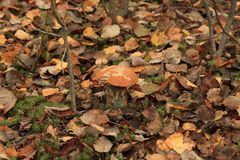 Mushroom among fallen leaves in the forest. Mushroom among fallen leaves and moss in the forest Royalty Free Stock Photos