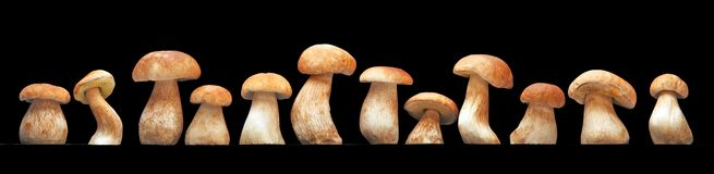 Mushroom family, Cep (Boletus edulis) - king of pore fungi Royalty Free Stock Image
