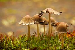 Mushroom Family. A goup of mushrooms standing together like family Royalty Free Stock Photo