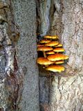 Mushroom family grows on a tree Stock Images
