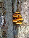 Mushroom family grows on a tree Royalty Free Stock Images