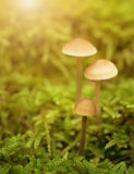 Mushroom family on the mossy ground Royalty Free Stock Photo