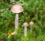 Mushroom family in the mossy tussock Stock Photography