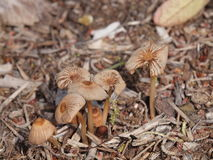 Mushroom family. A family of mushrooms, on the side of a walking trail in Mount Barker, South Australia Stock Photo