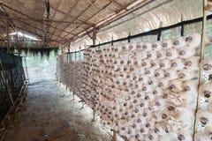 Mushroom in farm. A kind of thai mushroom called hed nang fa .Mushroom in farm Royalty Free Stock Photos