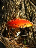 Mushroom fly agaric Royalty Free Stock Images