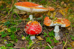 Mushroom fly agaric. In autumn forest surrounded by fallen leaves Royalty Free Stock Image