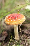 Mushroom fly agaric close-up Stock Photo