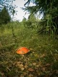 Mushroom fly agaric in the forest. Mushrooms-toadstools are poisonous mushrooms that have bright color. The mushroom has a red hat with white dots and is very Royalty Free Stock Photography