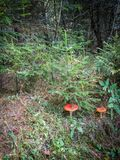 Mushroom fly agaric in the forest. Mushrooms-toadstools are poisonous mushrooms that have bright color. The mushroom has a red hat with white dots and is very Stock Photography