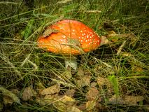 Mushroom fly agaric in the forest. Mushrooms-toadstools are poisonous mushrooms that have bright color. The mushroom has a red hat with white dots and is very Royalty Free Stock Photo