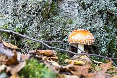 Mushroom a fly agaric grows in the wood Stock Photos
