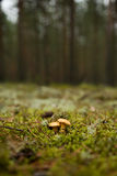 Mushroom in the focus Royalty Free Stock Images