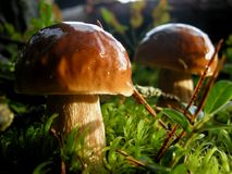 Mushroom in the forest. After a rain Royalty Free Stock Photos