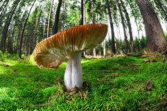 Mushroom in forest Royalty Free Stock Photos