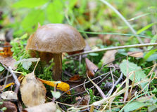 Mushroom in the forest Royalty Free Stock Image