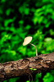 Mushroom in forest. After rain a little mushroom grows up at wood in forest. Close up shoot. Green background Royalty Free Stock Photography