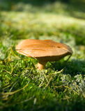 Mushroom in the forest Stock Photography