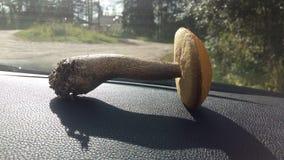 Mushroom. Forest autrum sun Stock Images