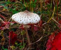 Mushroom forest autumn. Autumn mushroom in the grass Royalty Free Stock Photos