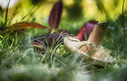 Mushroom in forest boletus close up Royalty Free Stock Photo