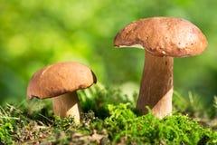 Mushroom in a forest, Boletus edulis. Royalty Free Stock Image