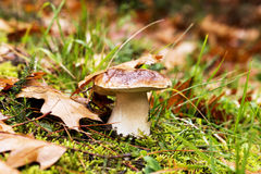 Mushroom in the forest, Boletus Edulis species, autumn colors co Stock Photography