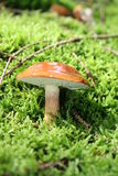 Mushroom in forest Stock Images