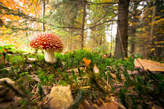 Mushroom In The Forest Stock Images