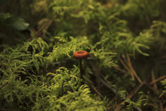 Mushroom in forest grass. In dark light Stock Images