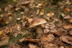 Mushroom on forest ground Royalty Free Stock Photography