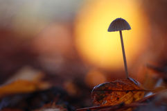 Mushroom in a forest of Lower Saxony, Germany. Mushroom on the floor of a forest in Lower Saxony Northern Germany in autumn Royalty Free Stock Photo