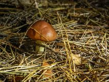 Mushroom in the forest. Mushrooms in forests appear in mid-summer and in autumn. Some of them are edible, conditionally edible and poisonous varieties. Often Stock Photo
