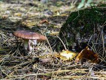 Mushroom in the forest. Mushrooms in forests appear in mid-summer and in autumn. Some of them are edible, conditionally edible and poisonous varieties. Often Stock Images