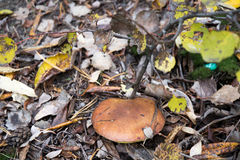 Mushroom in the forest. One mushroom suillus surrounded by leaves and the forest Stock Images