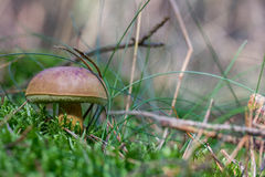 A mushroom in the forest Royalty Free Stock Photo
