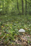 Mushroom in the forest Royalty Free Stock Images