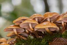 Mushroom of France Royalty Free Stock Images