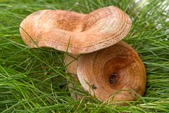 Mushroom freckles in the grass Royalty Free Stock Photo