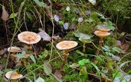 Mushroom, Fungus, Edible Mushroom, Medicinal Mushroom royalty free stock images