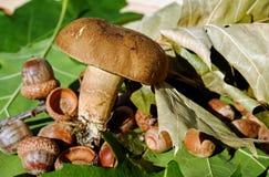 Mushroom, Fungus, Edible Mushroom, Penny Bun