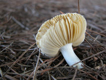 Mushroom. Fungus that grows to life in a pine count Stock Photos