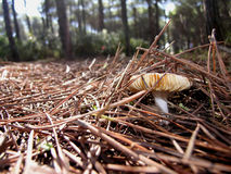 Mushroom. Fungus that grows to life in a pine country Stock Image